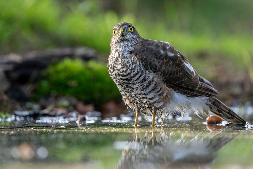 Sperwer roofvogel van Rando Kromkamp