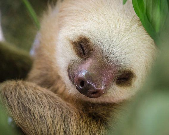 Luiaard / portrait of a sleeping sloth in a tree