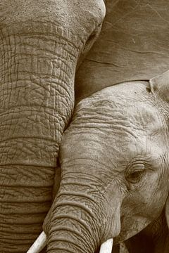 Nahaufnahme der afrikanischen Elefantenmutter und des afrikanischen Elefantenkalbes schwarz-weiß von Bobsphotography