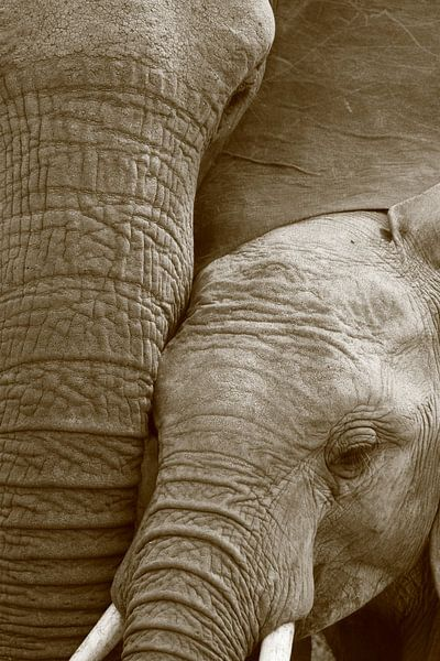 Close up van afrikaanse olifant moeder en kalf zwart wit van Bobsphotography