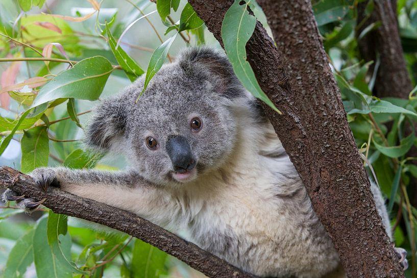 Koala (Phascolarctos cinereus) jong van 11 maanden in een boom, Australië van Nature in Stock