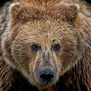 Oog in oog met een Grizzly beer van Michael Kuijl