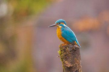 IJsvogel in de regen van Gert Hilbink