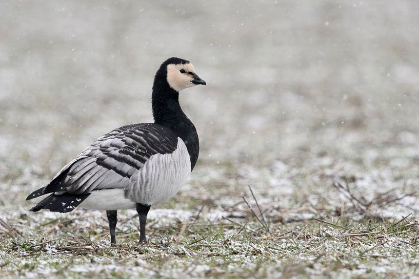 Barnacle Goose ( Branta leucopsis ) in winter, standing on farmland, light snowfall, watching around van wunderbare Erde