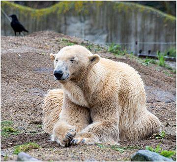 Blijdorp Zoo Bär von Anuska Klaverdijk
