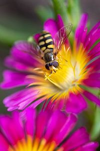 Schwebfliege auf Blume von Enna Butte