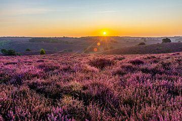 Lever du soleil bruyère pourpre fleurissant sur la Posbank sur Marco Schep
