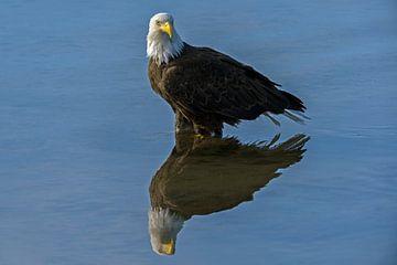Amerikaanse Zeearend met reflectie in het water van Michael Kuijl
