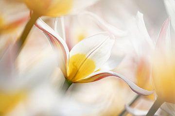 Kaufmanniana Eisstiel-Tulpe von Rina Bredie
