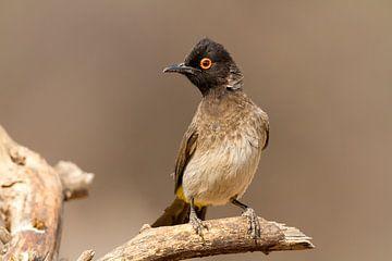 Rotäugiger Bülbül in Namibia von Angelika Stern