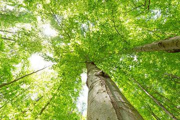 Grote beukenboomtoppen van