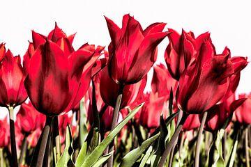 prachtige Rode tulpen van eric van der eijk