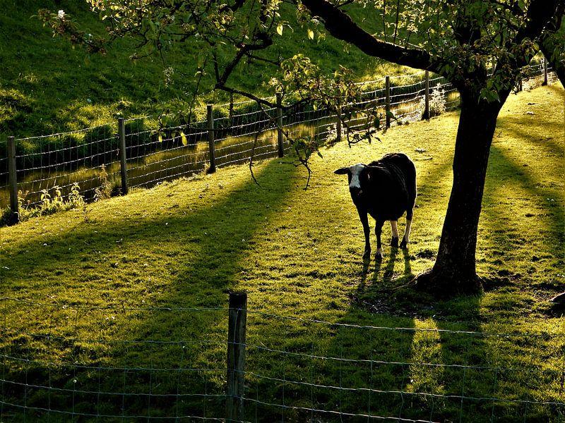 Zwart schaap in de weide van Maike Scheepstra