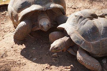schildpad turtle van Bart Cornelis de Groot