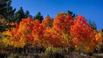 Amerikaanse Aspens in de herfst, Verenigde Staten van Adelheid Smitt