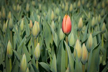 Erste blühende rote Tulpe von eric van der eijk