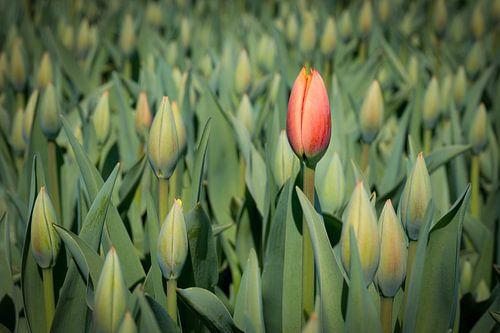 eerste bloeiende rode tulp van