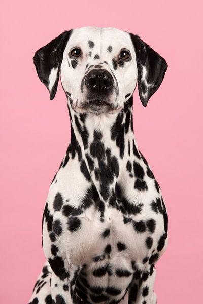 Dalmatiër van Elles Rijsdijk