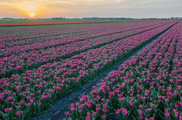 Tulpen van Rene Mensen