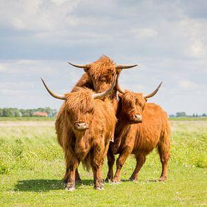 Schotse Hooglanders 2  Eiland Tiengemeten