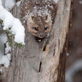 La martre arboricole / martre d'Amérique ( Martes americana ) s'accroupit en hiver pendant la chasse sur wunderbare Erde
