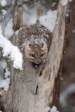 Boommarters / sparrenmarters ( Martes americana ) hurken in de winter tijdens de jacht in een gebrok van wunderbare Erde