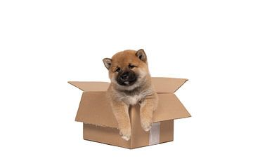 Een Shiba Inu puppy zit in een kartonnen doos tegen een witte achtergrond van Leoniek van der Vliet