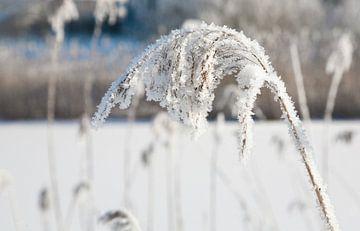 Wintertijd met sneeuw aan riet sur Martijn de Bie