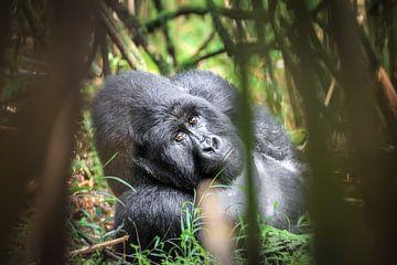 Gorille à dos argenté dans une forêt de bambous sur Krijn van der Giessen
