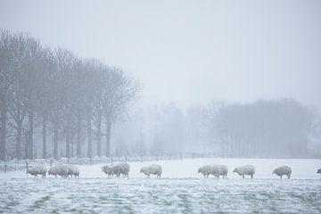 Schafe im Schnee
