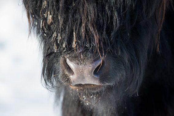 Close up Schotse Hooglander zwart