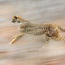 cheetah on the run. Is she hunting? sur jowan iven