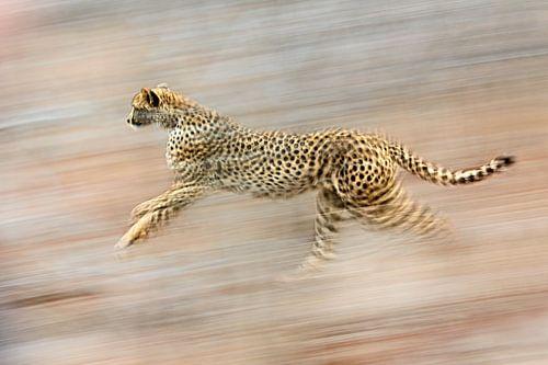 cheeta sprint met hoge snelheid naar onbekende bestemming