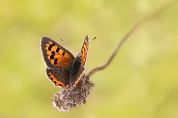 Vlinder (vuurvlindertje) op een dorre bloem van KB Design & Photography (Karen Brouwer)