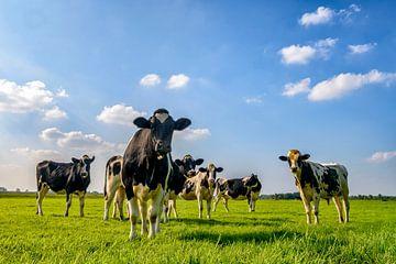 Groep koeien in de wei van