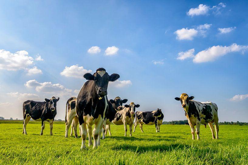 Groep koeien in de wei van Sjoerd van der Wal