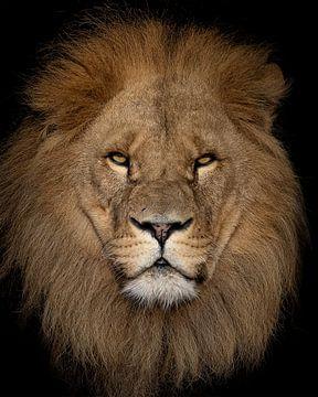 Porträt eines beeindruckenden Löwen von Patrick van Bakkum