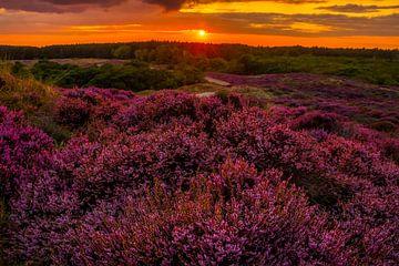 Bloeiende Heide 12 van Peter Heins