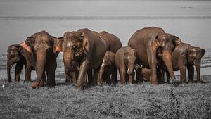 Elefanten Sri Lanka von Reisverslaafd