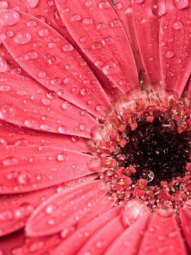 Gouttes d'eau sur une fleur de gerbera sur Lorena Cirstea