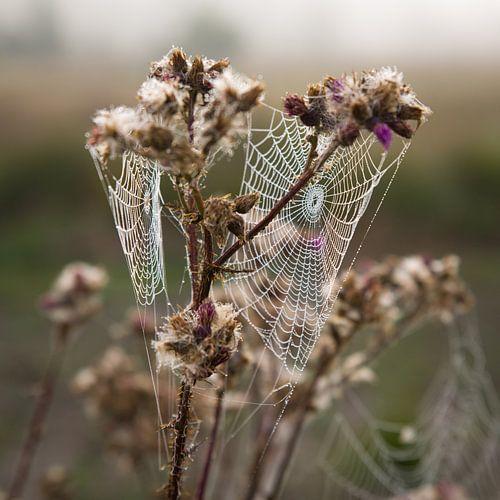 spinnenweb