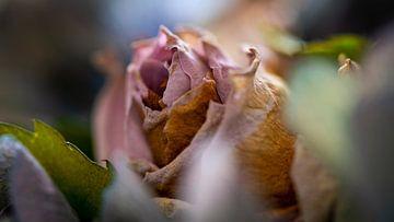 Bloeiende roze roos in herfsttint van Jenco van Zalk