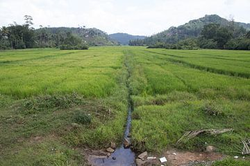 Rijst velden in Sri Lanka van Rijk van de Kaa
