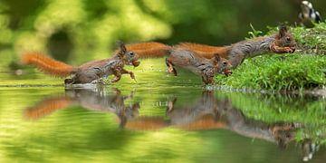 sprong  van een jonge eekhoorn  van gea strucks