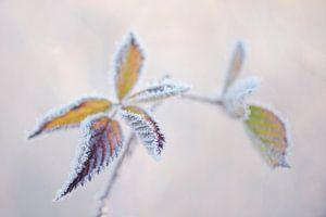 Bevroren bladeren in de mist.
