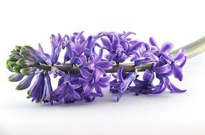 Paarse hyacinth van