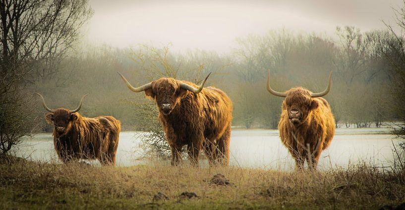 Drei schottische Hochlandbewohner von Sonja van Poorten