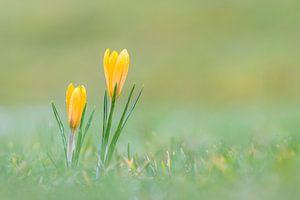 Gelbe Krokusse mit Tautropfen