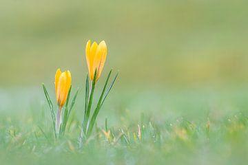 Gelbe Krokusse mit Tautropfen von John van de Gazelle