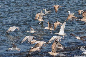 Zeemeeuwen van Hanney Bruijn Fotografie
